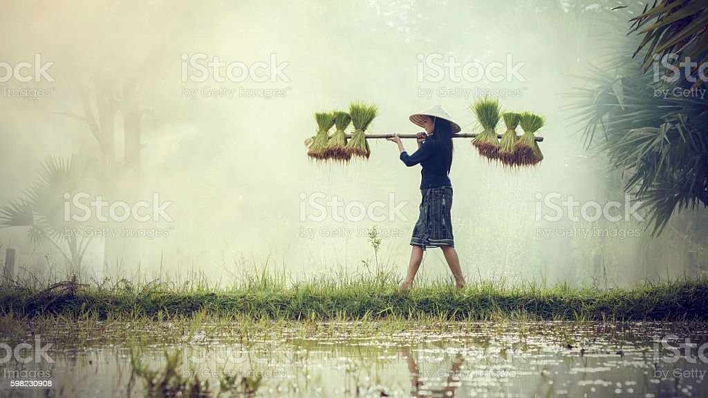 Woman Farmers grow rice in the rainy season. stock photo