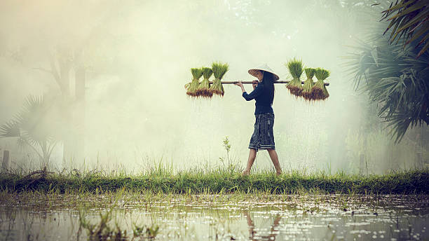 woman farmers grow rice in the rainy season. - sa pa zdjęcia i obrazy z banku zdjęć