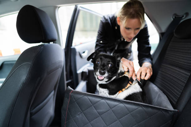 Woman Fastening Dog In Car With Safe Belt stock photo