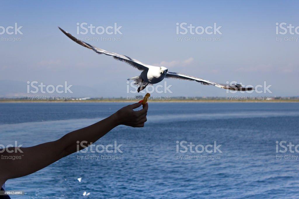Woman feeding a seagul in mid-flight stock photo
