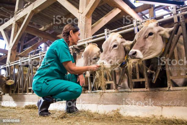 Woman feeding dry grass to cows picture id925648468?b=1&k=6&m=925648468&s=612x612&h=jlqdomitrigghkjgctb7t yawwgjlfqgek7jjfpcufk=