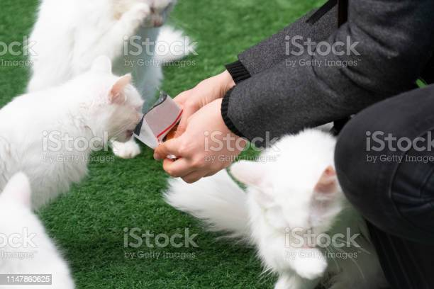 Woman feeding famous turkish van cats picture id1147860625?b=1&k=6&m=1147860625&s=612x612&h=m2a6zc0etax2cgtgotgebkm rjq1vh3gujrnx2qp8bk=