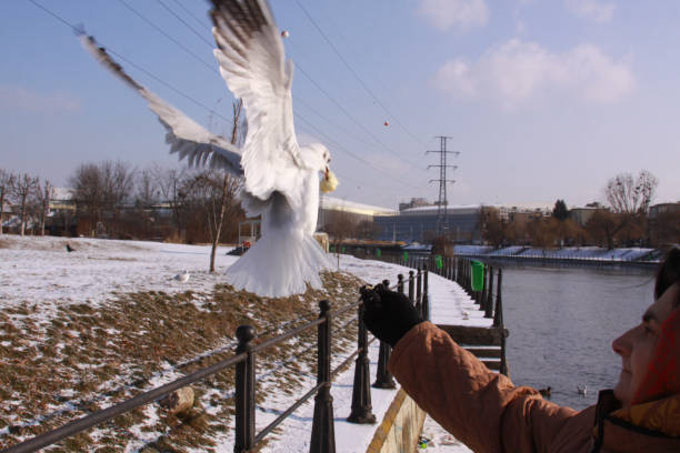 Woman feeding flying gull from hand in winter stock photo