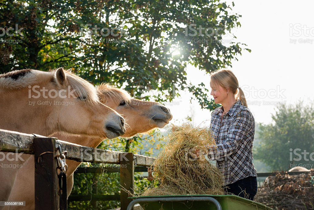 Woman feeding her horses stock photo