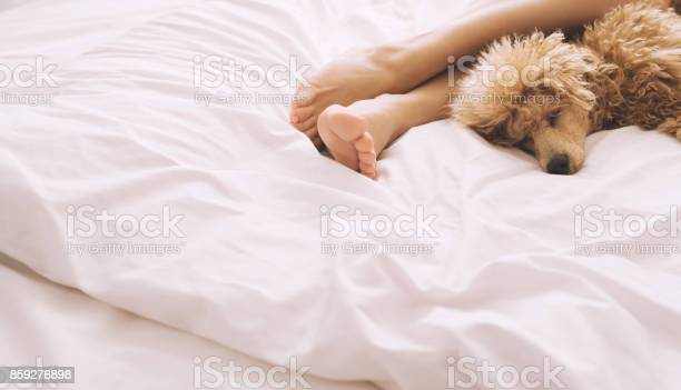 Woman feet on the bed with poodle dog picture id859276898?b=1&k=6&m=859276898&s=612x612&h=rv cutku2mfq6zrv3rpt45akw 68gmccwwfx4g14vqe=