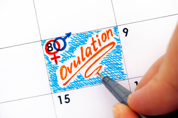Woman fingers with pen writing reminder Ovulation in calendar. stock photo