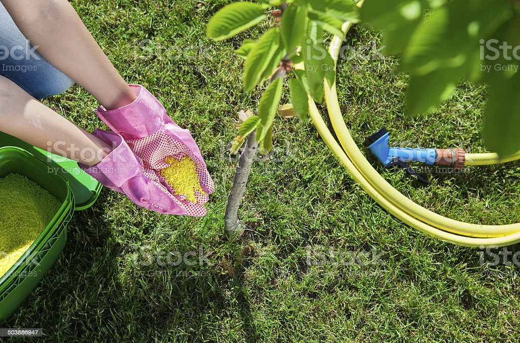 Woman gardener fertilizing young cherry tree stock photo