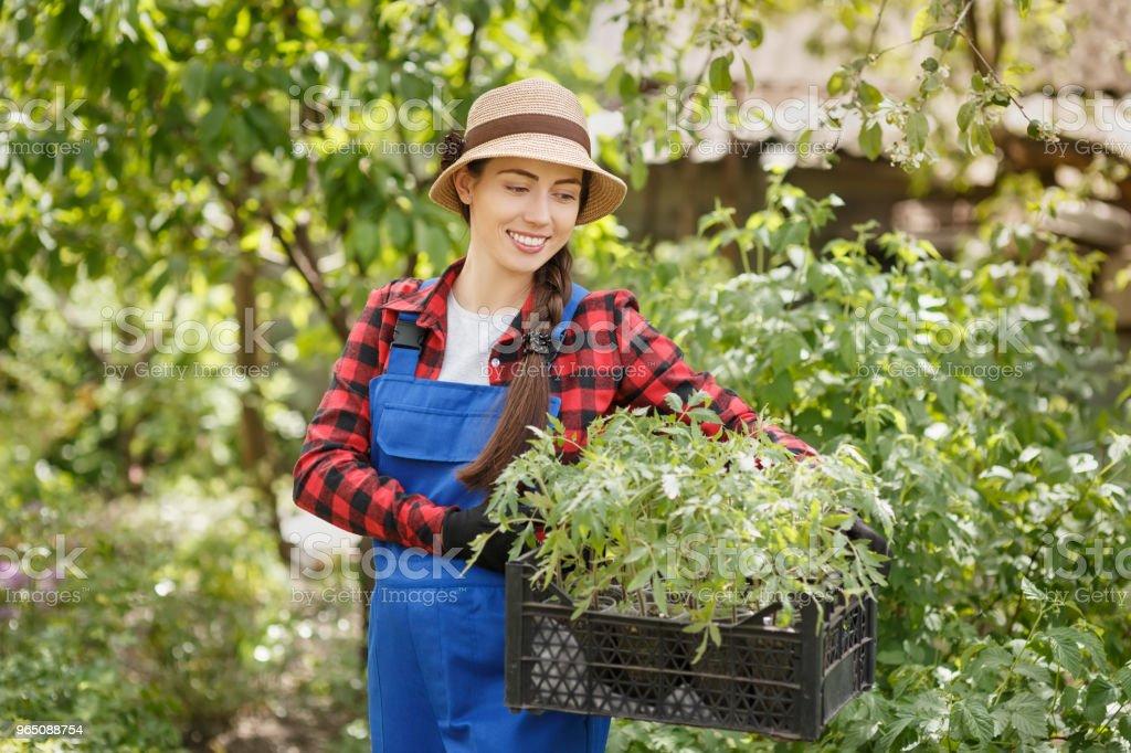 woman gardener holding seedlings of tomato in box royalty-free stock photo