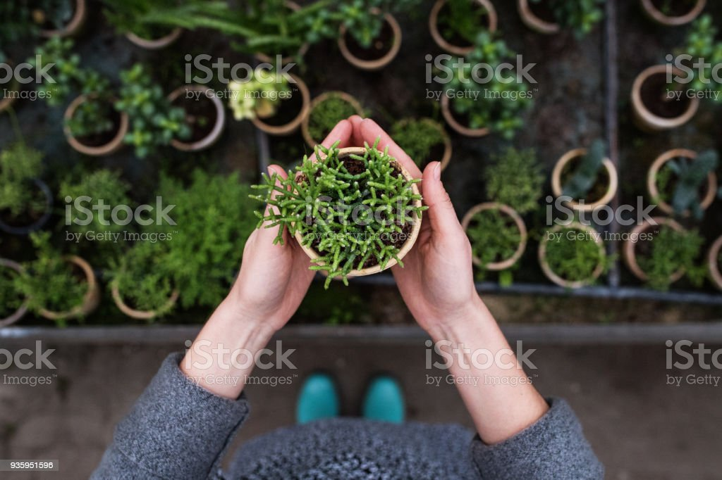Woman gardener in a large greenhouse holding a pot with plant. stock photo