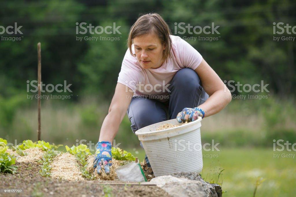 Woman gardener planting salad and mulching it stock photo