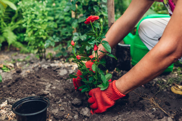 Woman gardener transplanting roses flowers from pot into wet soil. Summer garden work. Woman gardener transplanting roses flowers from pot into wet soil after watering it with watering can. Summer garden work. potting stock pictures, royalty-free photos & images