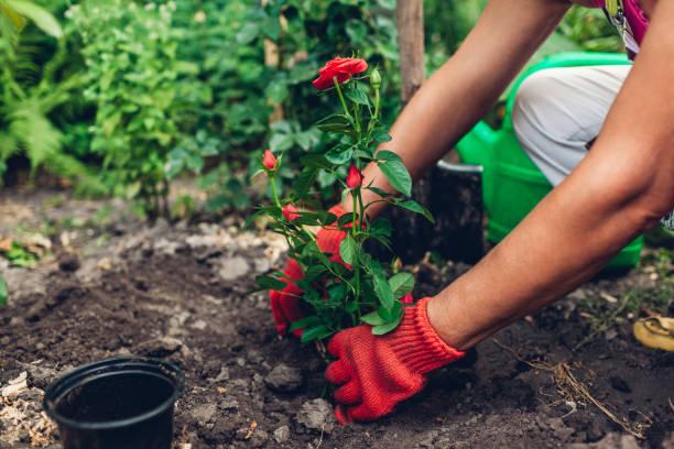 Woman gardener transplanting roses flowers from pot into wet soil. Summer garden work.