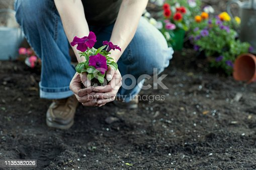 Woman gardening and holding Petunia flowers in her hands