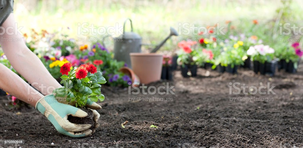 Woman gardening in springtime and planting Dahlia flowers - Royalty-free Adulto Foto de stock
