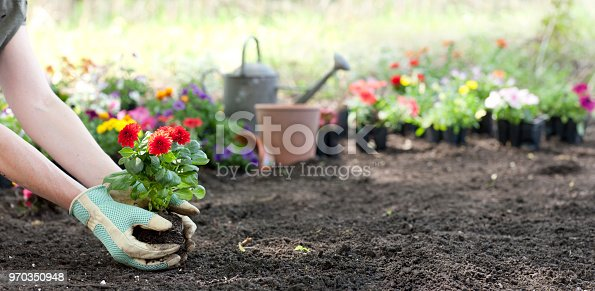 Woman gardening in springtime and planting Dahlia flowers. Copy space and shallow depth of field for effect