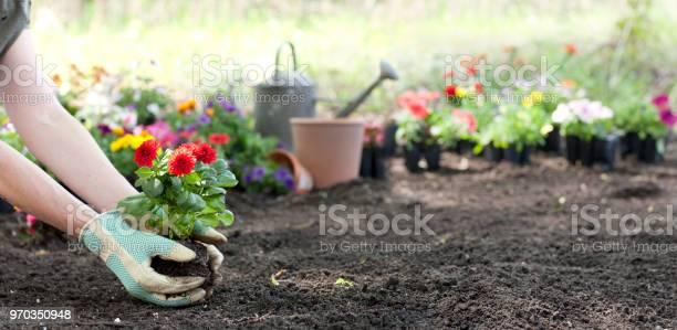 Woman gardening in springtime and planting dahlia flowers picture id970350948?b=1&k=6&m=970350948&s=612x612&h=cdza chm8rqgemqc5ypik5ecv tgxzfewp7pjiv7agk=