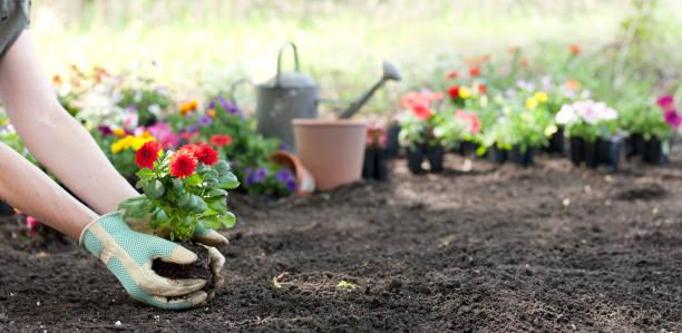 woman gardening in springtime and planting dahlia flowers - клумба стоковые фото и изображения