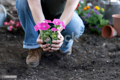 Woman gardening in springtime and holding Petunia flowers in her hands