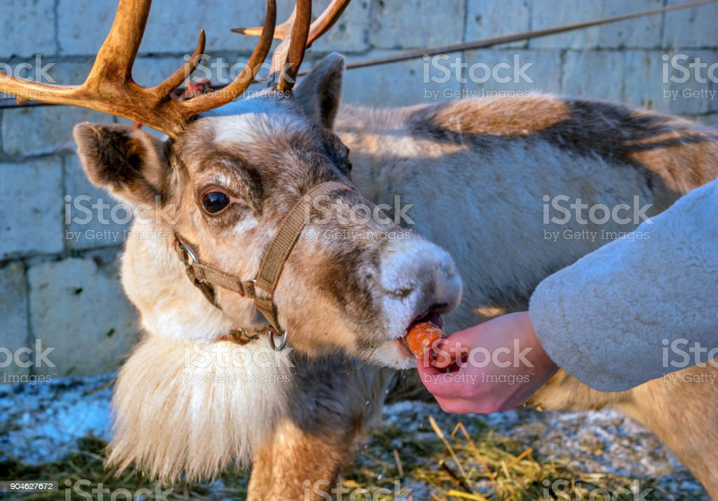 A woman gives carrots to a reindeer. The deer takes the carrots with their lips. On the head of the reindeer there are horns. stock photo