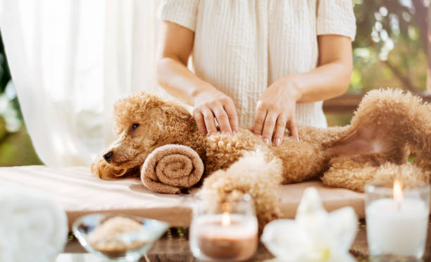Woman giving body massage to a dog. Spa still life with aromatic candles, flowers and towel. stock photo
