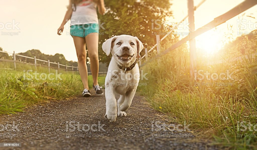 woman goes for walk with labrador dog puppy at sunset – Foto