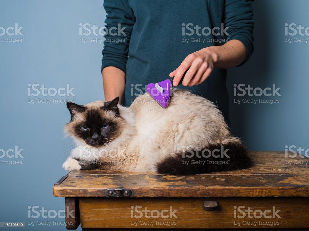 Woman grooming a birman cat stock photo
