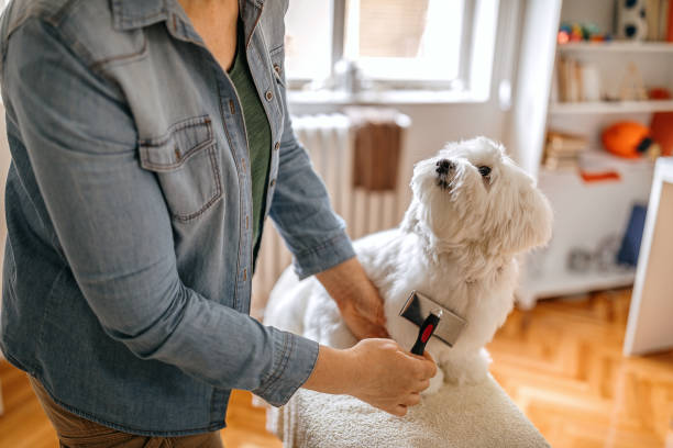 Woman grooming pet dog at home stock photo