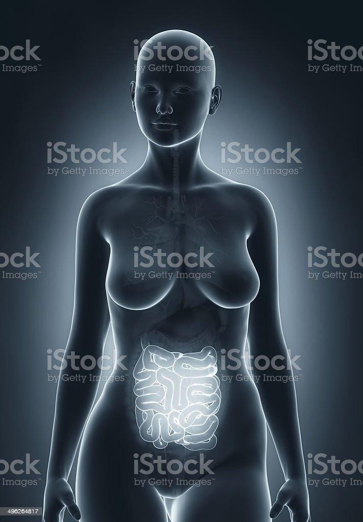 Woman guts anatomy stock photo