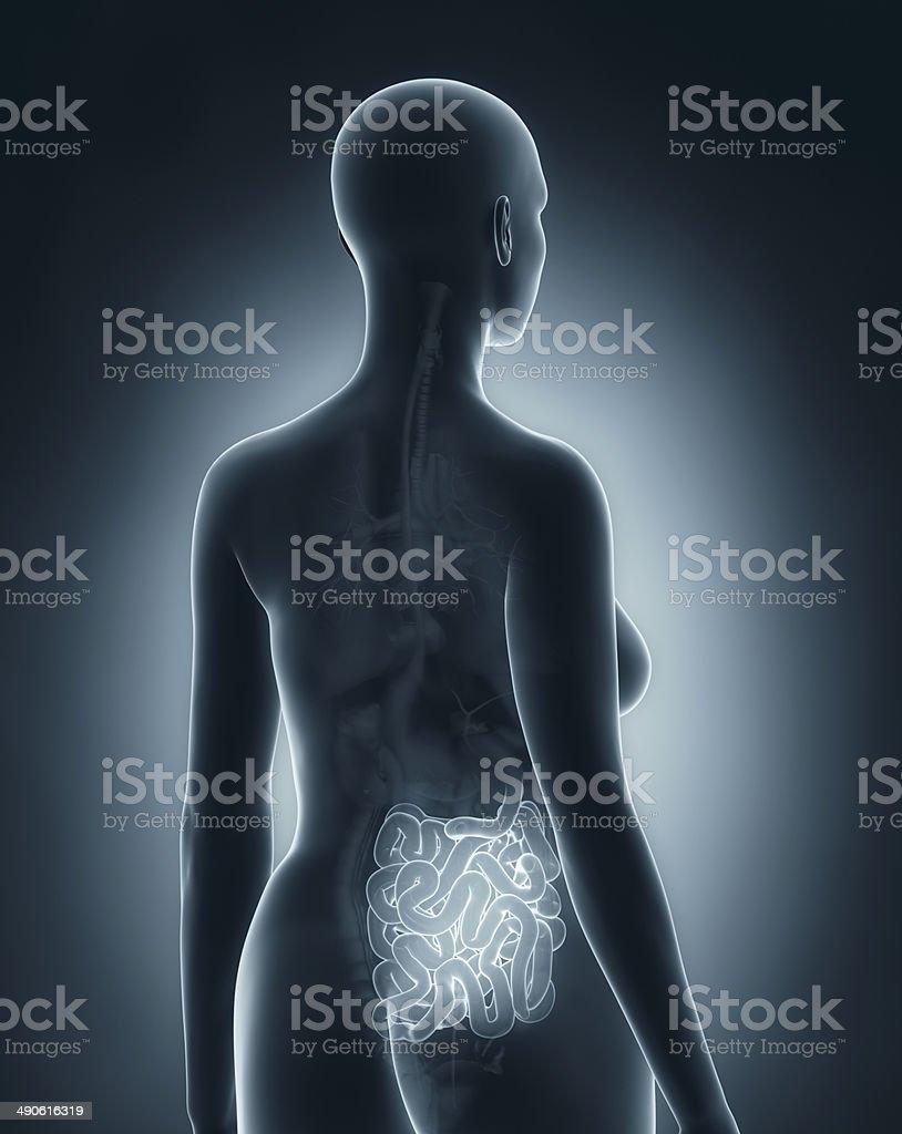 Woman guts anatomy x-ray black posterior view stock photo