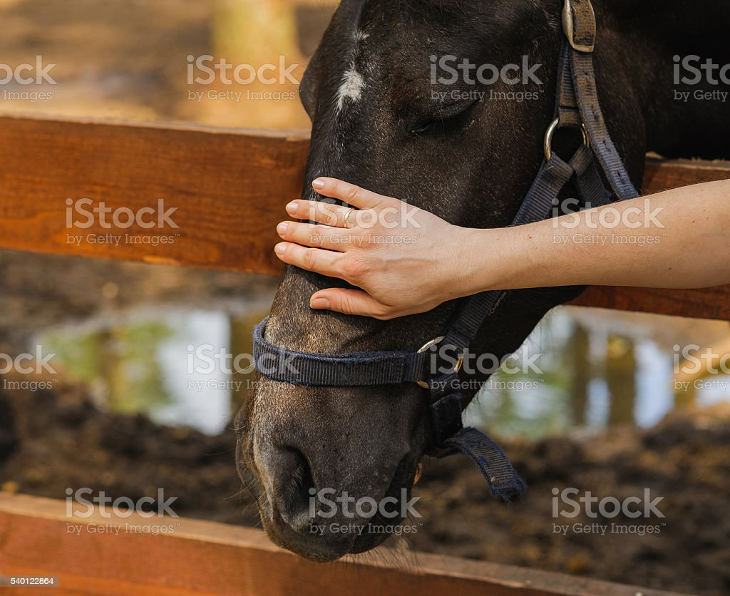 woman hand caress horse on head stock photo