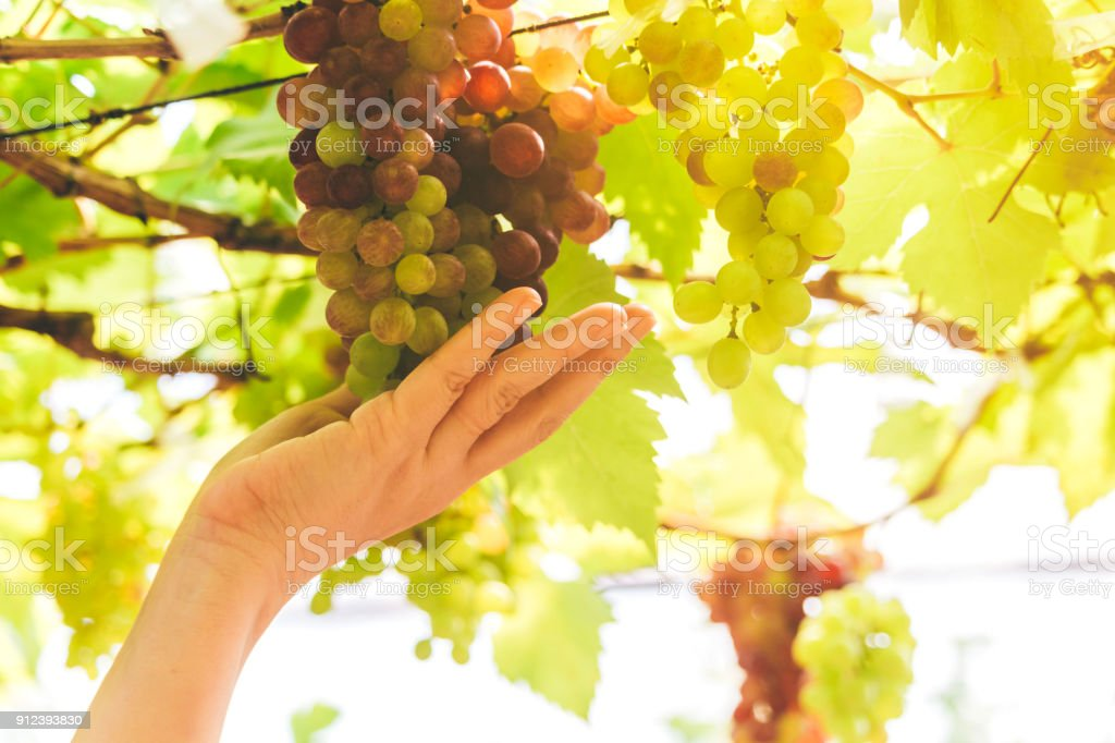 Woman hand fresh wine grape in vineyard.Grapes harvest stock photo