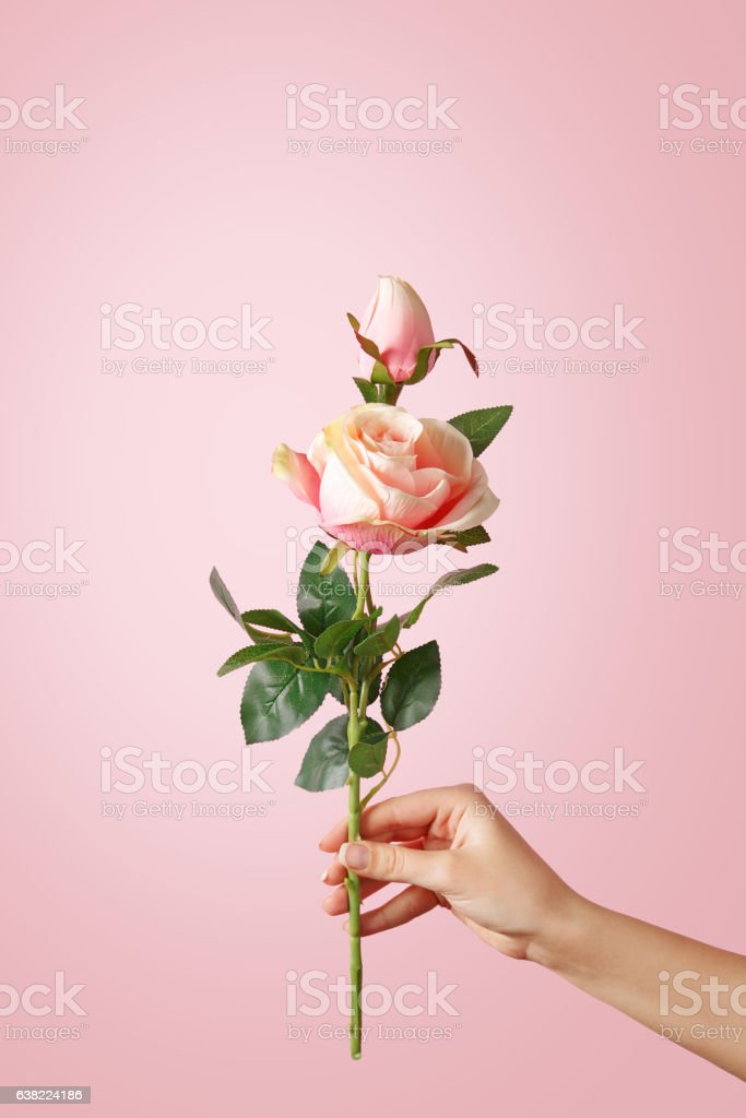 Woman hand holding a rose on pastel background stock photo