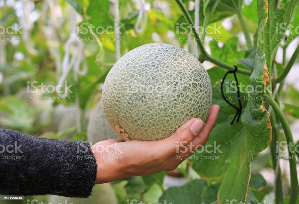 Woman Hand Holding Melon In Greenhouse Melon Farm Stock Photo Download Image Now Istock But our 50 recipes show there are many other ways to enjoy cantaloupe. https www istockphoto com photo woman hand holding melon in greenhouse melon farm gm692833046 127876755