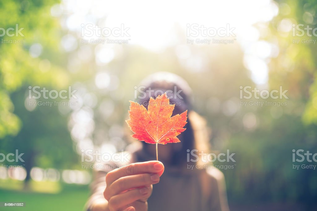 Woman Hand Holding Red Maple Leaf in a canadian park stock photo