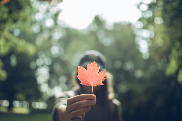 woman hand holding red maple leaf in a canadian park - tree logo stock photos and pictures