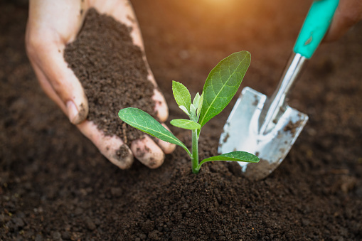 912882270 istock photo Woman hand holding soil, planting and caring for seedlings The concept of World Environment Day, take care of seedlings to grow, conserve the world, plant trees to reduce global warming. 1239888765