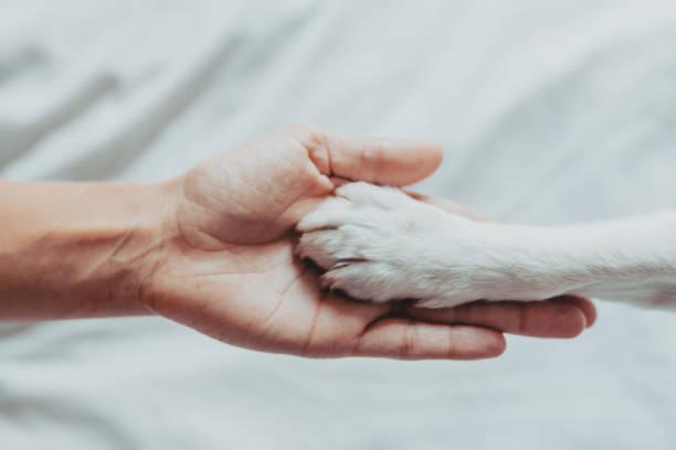 kadın el yavaşça beyaz bir köpek pençesi tutuyor. paws sallamak için tren köpek. evde boş zaman. aşk kavramı - pati stok fotoğraflar ve resimler