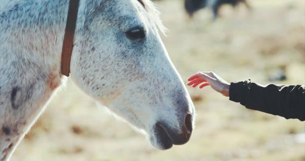Frau Hand Petting weißes Pferd Kopf Lifestyle Tier und Menschen Freundschaft reisekonzept – Foto