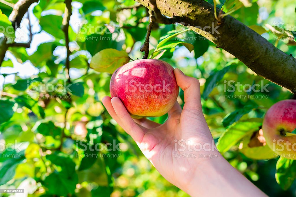 woman hand picking red apple – Foto