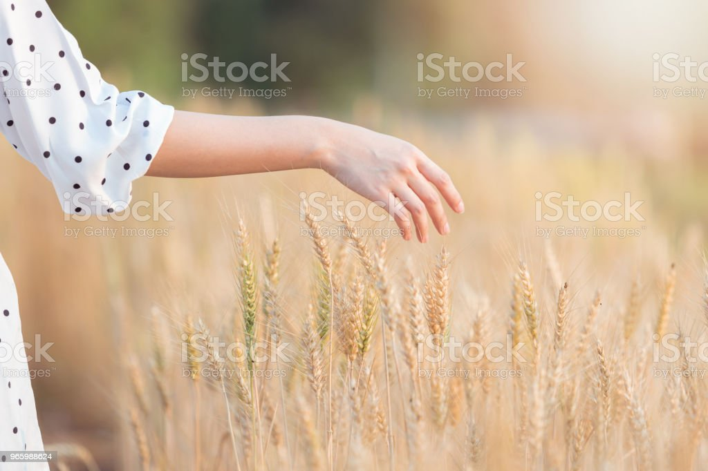 Woman hand touching barley in summer at sunset time Woman hand touching barley in summer at sunset time Adult Stock Photo