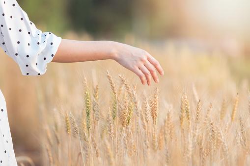 Kvinna Hand Röra Korn I Sommar På Solnedgång-foton och fler bilder på Asiatiskt och indiskt ursprung