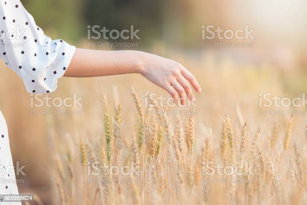 Woman Hand Touching Barley In Summer At Sunset Time Stock Photo - Download Image Now