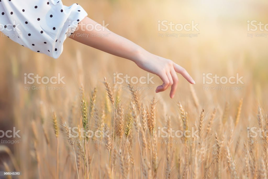 Woman hand touching barley in summer at sunset time - Royalty-free Adult Stock Photo