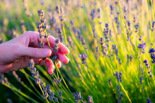 vrouw hand aanraken van bloemen - foto's van hands stockfoto's en -beelden