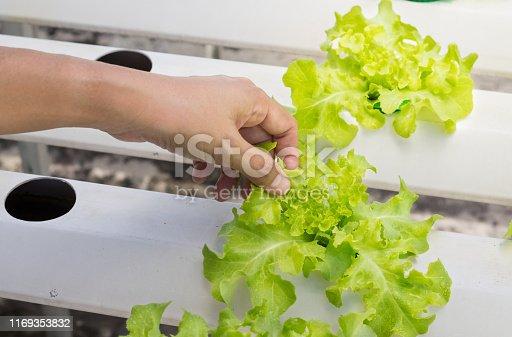 Woman hand touching hydroponics green vegetable salad leaf.