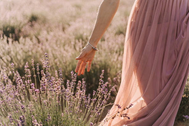 Woman Hand Touching Lavender Bushes on Sunny Day stock photo