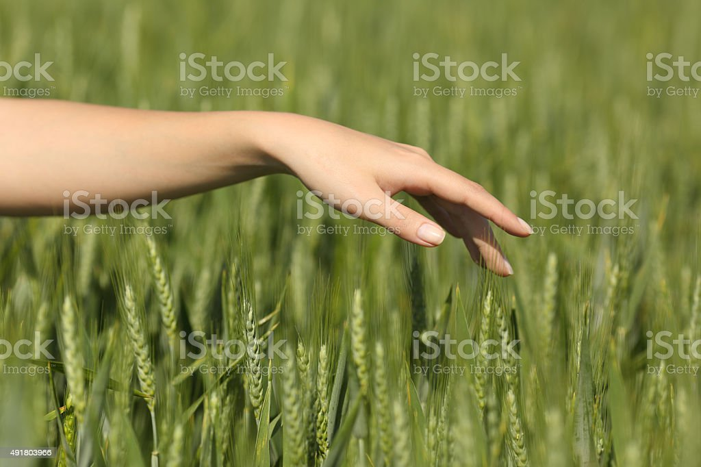 Woman hand touching softly wheat in a field stock photo