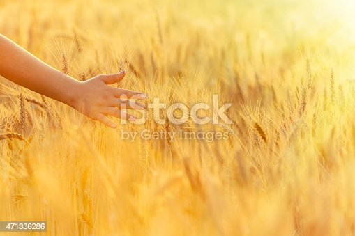 unrecognizable woman hand touching wheat in sunset time of day.