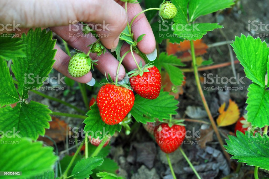 Woman hand with fresh strawberries collected in the garden. Fresh organic strawberries growing on the field. Close up, selective focus royaltyfri bildbanksbilder