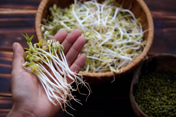 Woman hand with homemade bean sprouts, germinate of green beans stock photo